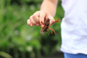 crayfish-pixabay