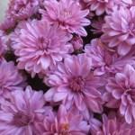 Pretty lavender mums.