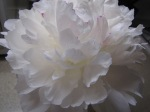 White peony arrangement sent by Mr. and Mrs. Otey Bell.