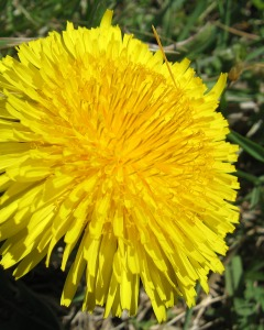 photo of a dandelion blossom by Virginia Allain