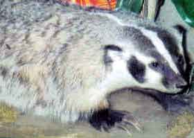 Mom took this photo at a museum. She said it reminded her of her pet badger, Jolly.