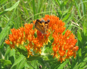 This one is aptly named the butterfly weed. (photo by Virginia Allain) Its official name is Asclepias tuberosa.