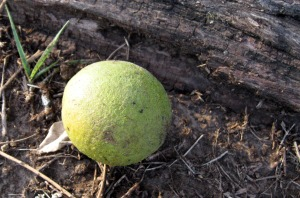 The black walnut with the husk still on.