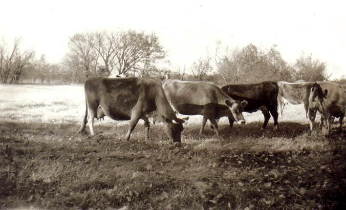 Clyde's herd of milking cows before the Aryshires_roxio