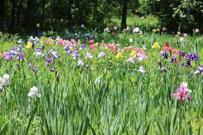 eldorado iris gardens by eva tower