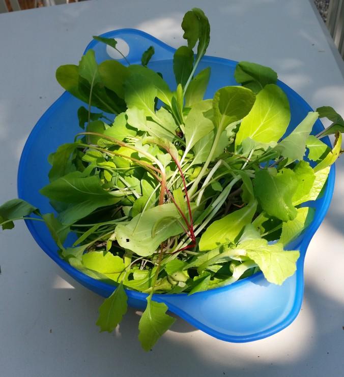 lettuce from 2015 garden NH