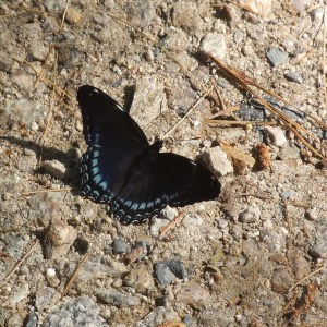 Black Butterfly with blue markings - Photo by Virginia Allain