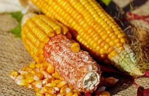 corn cob pixabay
