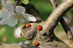 ladybug-pixabay