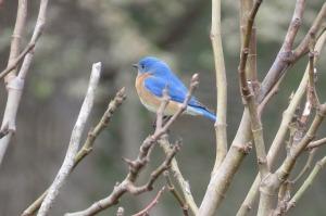 bluebird pixabay