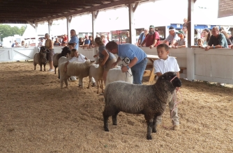 Sheep judging at the county fair in Acton, Maine