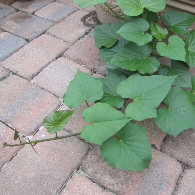 Sweet potato vine on the patio