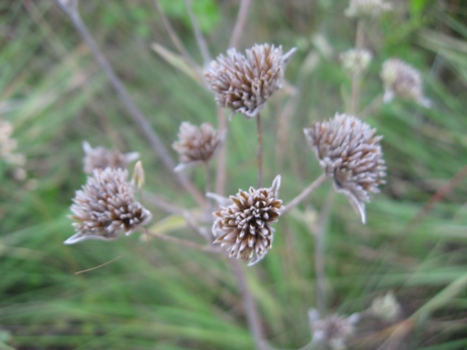 Dried wild flower - photo by Virginia Allain